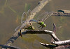 September 25, 2013 Common Green Darners, the male is clasping the female by the eyes to insure she deposits their eggs.  Next male would destroy any fertilized eggs she is carrying before their mating -