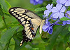 November 17, 2013  Sweet Swallowtail -  I was in my yard chasing down a clouded sulfur when this pretty fellow (Giant Swallowtail) just showed up.  A nice surprise for this late in November!<br /> <br />  I have had a great time with my friend from Nebraska, but this morning I am driving him to the Austin airport for his trip home.