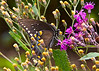 "November 6, 2013 ""Spicebush Swallowtail.  Captured along the eastern Virginia coast last summer"