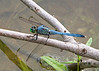 September 28, 2013 Eastern Pondhawk (male) -  do you have a damselfly or dragonfly for the monday challenge?