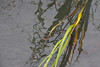 November 8. 2013 Diamond Back Water Snake peaking out of water grass.