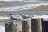 November 30, 2013 Royal Tern  (Winter Dress)  Padre Island National Seashore