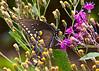 "November 6, 2013 ""Spicebush Swallowtail.  Captured along the eastern Virginia coast last summer"