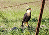October 23, 2013 Crested Caracara - A tropical falcon version of a vulture, the Crested Caracara reaches the United States only in Arizona, Texas, and Florida.  Rare in this area, we spotted a pair of these birds on our way to the park yesterday,