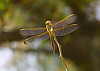 November 4, 2013  Golden Dragonfly wings - interesting in large size