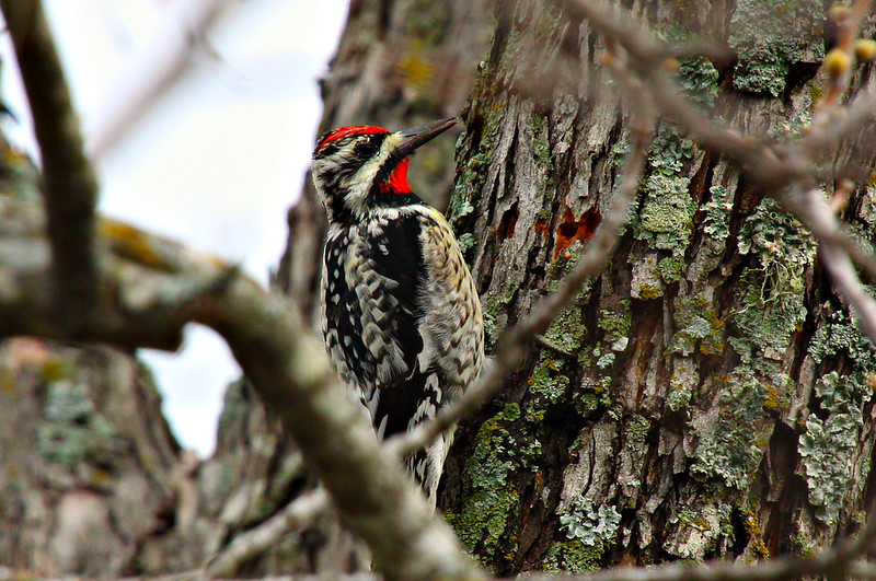 "March 21, 2012 ""Woodpecker on Pecan Tree""  Yellow Bellied Sapsucker     The most difficult aspect of this shot was catching the little guy with his head still."